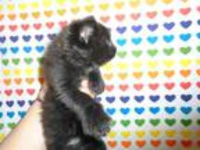 Adopt MAVRICK a All Black Domestic Shorthair / Mixed (short coat) cat in
