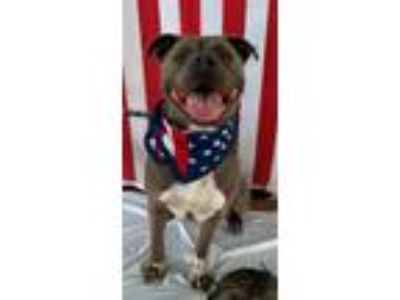 Adopt George - Not at the Shelter a Pit Bull Terrier, German Shorthaired Pointer