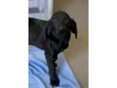 Adopt Caleb a Black Hound (Unknown Type) / Labrador Retriever / Mixed dog in