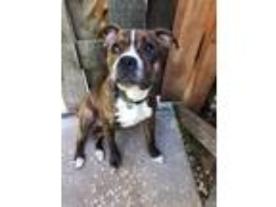 Adopt MAX a Boxer, Pit Bull Terrier