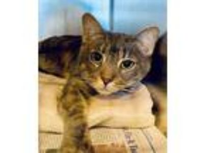 Adopt William- Barn Cat a Gray, Blue or Silver Tabby Domestic Shorthair / Mixed