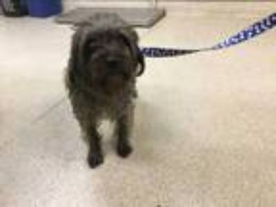 Adopt Dog a Black - with Gray or Silver Terrier (Unknown Type