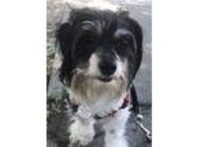 Adopt Pepper a Black - with White Toy Poodle / Mixed dog in Walnut Creek