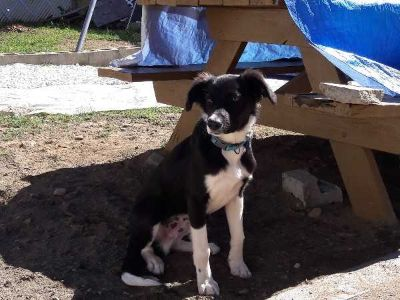 Unknown-Australian Shepherd Mix PUPPY FOR SALE ADN-54946 - Male Shepperd Dog for sale