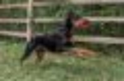 Suzy Doberman Pinscher Dog