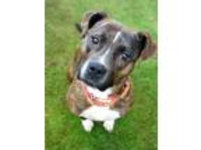 Adopt Cherry a Brindle - with White Boxer / American Staffordshire Terrier /