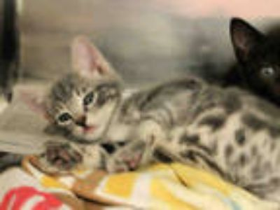 Adopt POTATO CHIPS a Gray or Blue Domestic Shorthair / Mixed (short coat) cat in