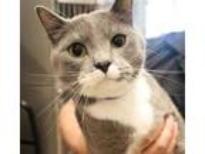 Adopt *DAVIS a Gray or Blue (Mostly) Domestic Shorthair / Mixed (short coat) cat
