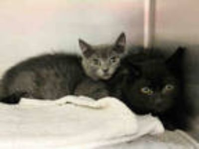 Adopt LITTLE EDIE a Gray or Blue Domestic Shorthair / Mixed (short coat) cat in