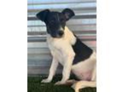 Adopt Regina a Border Collie, Cattle Dog