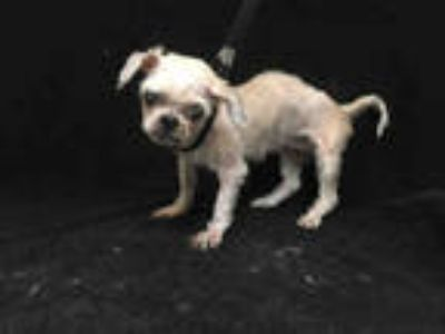 Adopt HOPE a White - with Tan, Yellow or Fawn Shih Tzu / Mixed dog in Pasadena