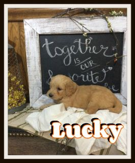 Lucky Male Goldendoodle 330-826-1882 Call or text
