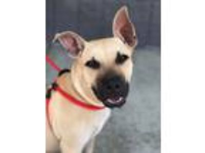 Adopt Crackerjack Newberry a Tan/Yellow/Fawn - with Black Black Mouth Cur /