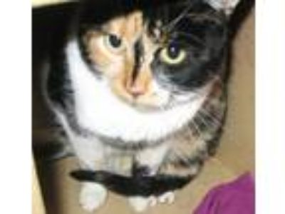 Adopt Cocoa a Calico or Dilute Calico Calico / Mixed (short coat) cat in Logan