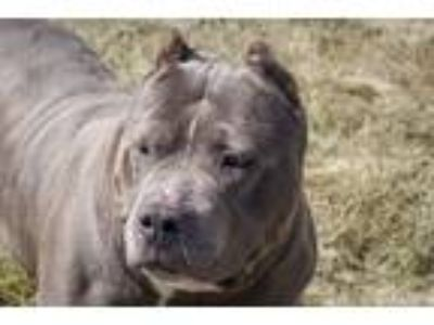 Adopt Flower a Pit Bull Terrier / Mixed dog in Napa, CA (25147731)