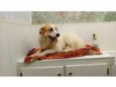 Adopt Lurch a White Great Pyrenees / Mixed dog in Sylva, NC (25863499)