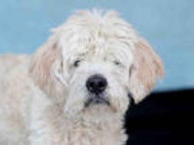 Adopt ROCKETMAN a White Terrier (Unknown Type, Medium) / Mixed dog in Downey