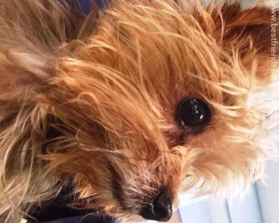 Lost female tan Yorkie
