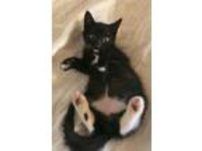 Adopt Zuko a Black & White or Tuxedo Domestic Shorthair / Mixed (short coat) cat