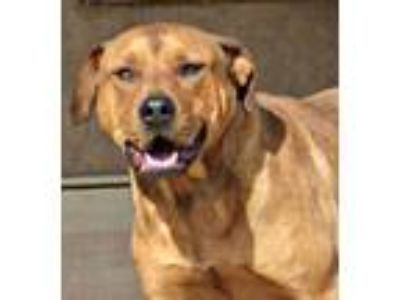 Adopt **CZR a Red/Golden/Orange/Chestnut - with White Rottweiler / American