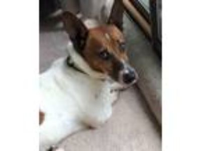 Adopt Grainger a White - with Brown or Chocolate Jack Russell Terrier / Mixed