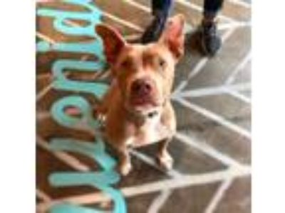 Adopt Piper a Tan/Yellow/Fawn - with White American Pit Bull Terrier / Mixed dog