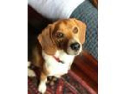 Adopt Spencer a Beagle / Mixed dog in Charelston, SC (24957296)