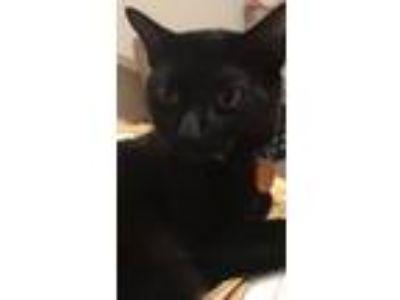 Adopt Quagmire a All Black Domestic Shorthair / Mixed cat in Austin