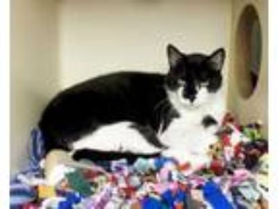 Adopt Snyder a All Black Domestic Shorthair / Domestic Shorthair / Mixed cat in