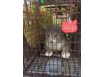 Adopt Loner- C377 a Gray or Blue Domestic Shorthair / Domestic Shorthair / Mixed
