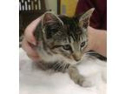 Adopt Fredrick a Tan or Fawn Domestic Shorthair / Domestic Shorthair / Mixed cat