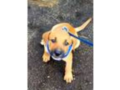 Adopt Danny a Black Mouth Cur