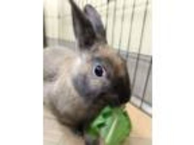 Adopt Eva and Ella a Dwarf, Bunny Rabbit