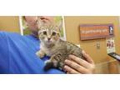 Adopt SAGE a Brown Tabby Domestic Shorthair / Mixed (short coat) cat in Dallas