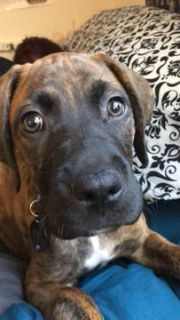 Great Dane-Bullmastiff Mix PUPPY FOR SALE ADN-80694 - 10 week old puppy