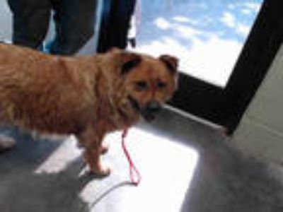 Adopt RUT a Brown/Chocolate - with White Chow Chow / Mixed dog in Tulsa