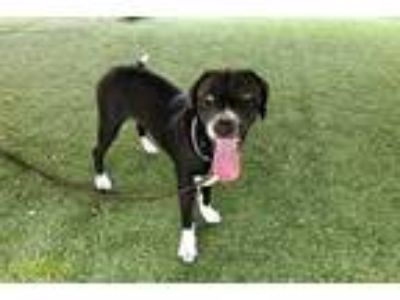 Adopt DELILAH a Black - with White German Shorthaired Pointer / Mixed dog in