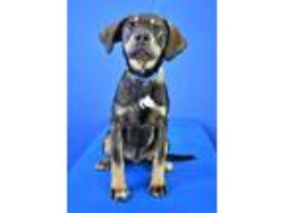 Adopt (found) Bear a Black Mountain Cur / Shepherd (Unknown Type) / Mixed dog in