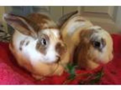 Adopt Ivy and Frannie a White Lop, Holland / Mixed (short coat) rabbit in