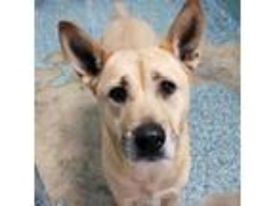 Adopt Mizzie a Tan/Yellow/Fawn Shepherd (Unknown Type) dog in Sarasota