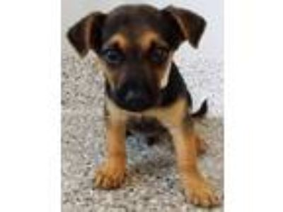Adopt Jamie a Black - with Tan, Yellow or Fawn Dachshund / Mixed dog in