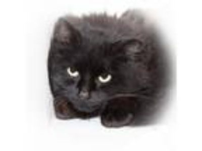 Adopt Trixie a All Black Domestic Longhair / Domestic Shorthair / Mixed cat in