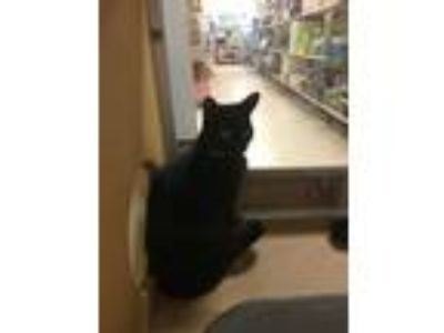 Adopt Millie a All Black Domestic Shorthair (short coat) cat in Albany