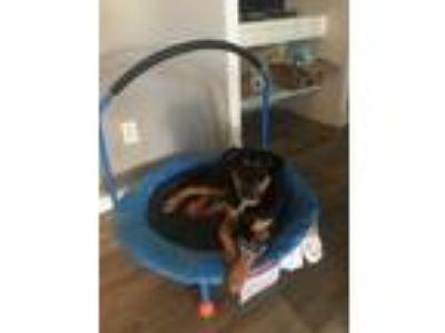 Adopt Hazel a Brown/Chocolate - with Black German Shepherd Dog / Mixed dog in