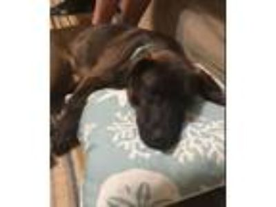Adopt Kourtney a Labrador Retriever, Boxer