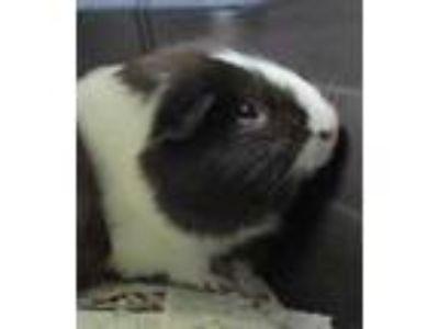Adopt Joe w/ Joey a Black Guinea Pig / Guinea Pig / Mixed small animal in