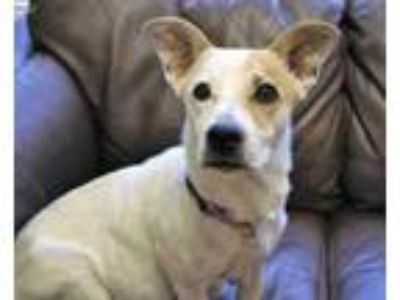 Adopt Merida a White Corgi / Jack Russell Terrier / Mixed dog in Garland