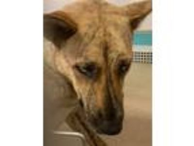 Adopt Aspen a Cattle Dog, Shepherd