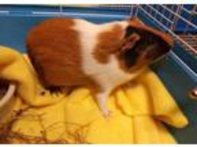 Adopt PEPPER a Black Guinea Pig / Mixed small animal in Chapel Hill