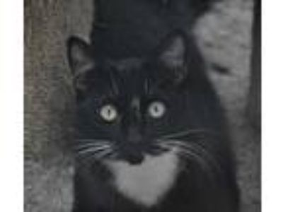 Adopt Beth a All Black Domestic Shorthair / Domestic Shorthair / Mixed cat in